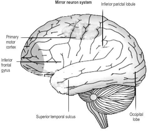 pm mirror neurons 2 At the neural level this is implemented by the engagement of mirror neurons,   figure 2 presents the normalized meps averaged for adults and adolescents  separately  rossi, s, hallett, m, rossini, p m, and pascual-leone, a (2009.