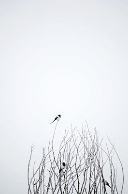 @loboman - On top of the world. Black and white photograph of a lone bird at the top of a tree. Available as poster and laminated picture at Printler, the marketplace for photo art.