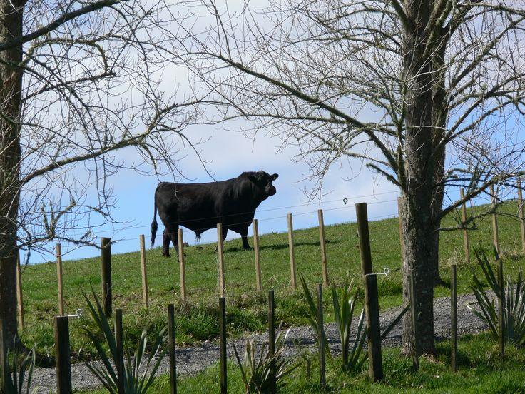 Our Barclay Farms Angus bull 161, stud to the farm 2015.