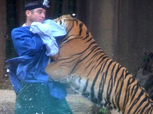 An investigation is found why a 120kg tiger attacked a zoo handler. Pic: Ch 7