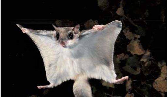 Flying Squirrel Facts | Squirrel Diet, Habitat, Behavior