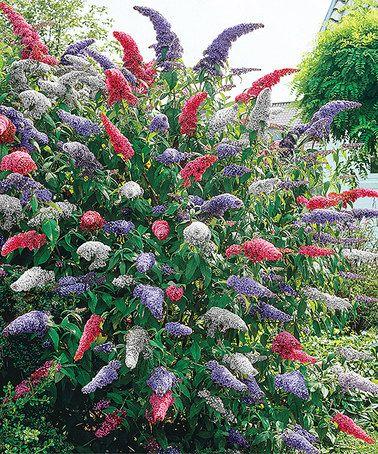 Best 25 butterfly bush ideas on pinterest hummingbird for Spring hill nursery garden designs