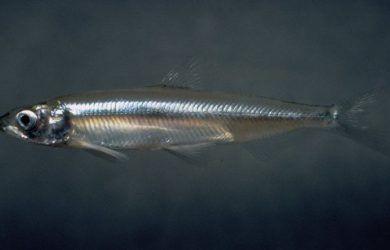 INFORMACIÓN SOBRE EL ESPERLANO EUROPEO  El eperlano europeo (Osmerus eperlanus) es un pez marino integrante de la familia Osmeridae. Esta especie vive en las aguas costeras de Europa, entre el mar Báltico hasta el golfo de Vizcaya.