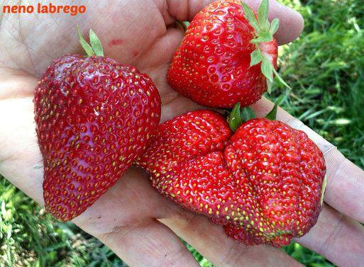 Cómo obtener nuevas plantas de fresas por estolones