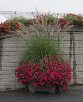 High Impact Sun Container Recipe pennistium & 4 petunia