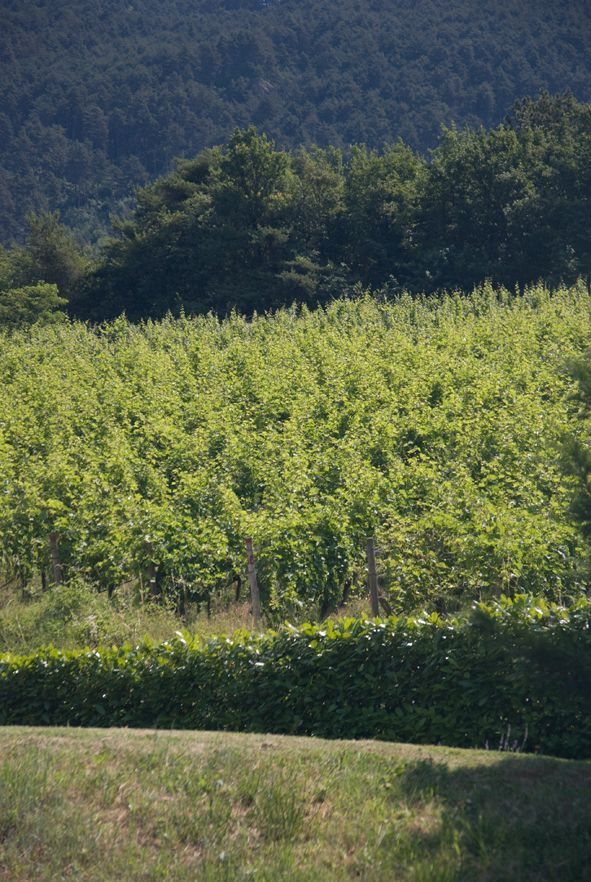 #vigneti #Trentino #grappa