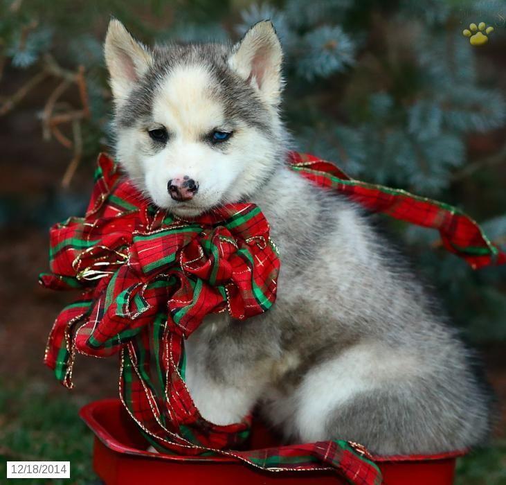 Siberian Husky Puppy for Sale in Pennsylvania #SiberianHusky