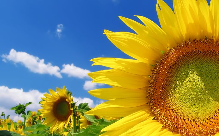 1000+ Ideas About Sunflower Wallpaper On Pinterest