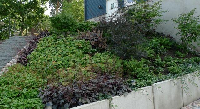 Stor slänt i Danderyd, året efter plantering