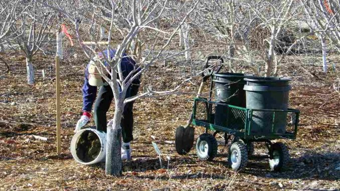 ÎNGRĂȘĂMINTE NATURALE pentru FERTILIZAREA POMILOR FRUCTIFERI. Fertilizarea exploatației pomicole, a livezii de pomi fructiferi este unul dintre elementele obligatorii pentru asigurarea unei recol