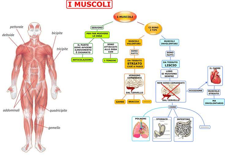 L'apparato muscolare Sc. Elementare   AiutoDislessia.net