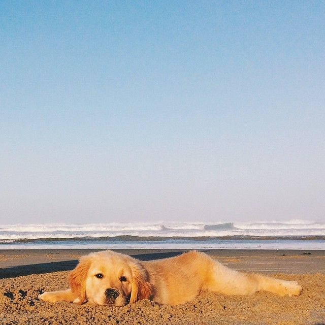 Best Small Breed Dogs That Can Go With Golden Retrievers