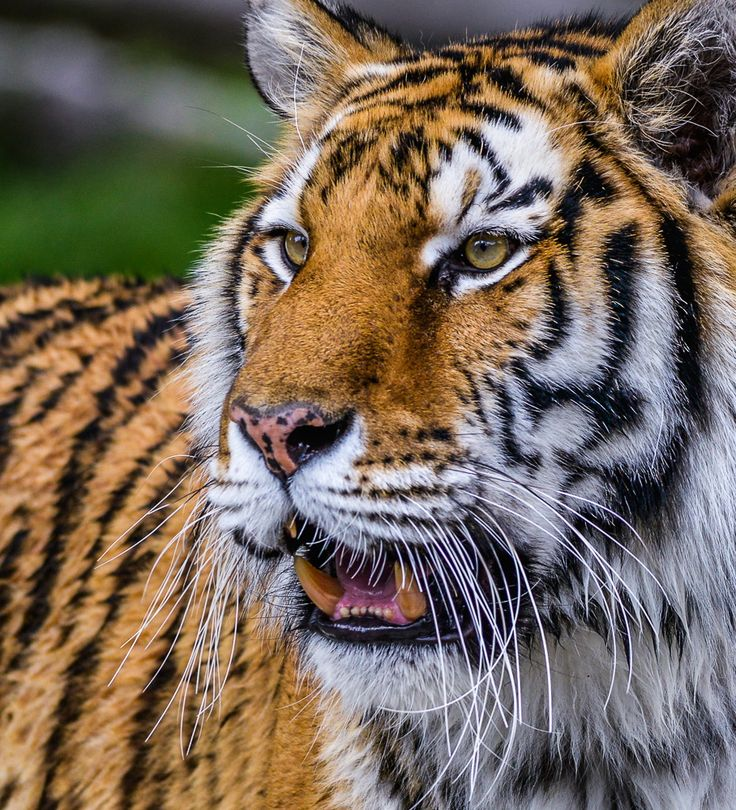 Save the Tiger by harish unnikrishnan on 500px