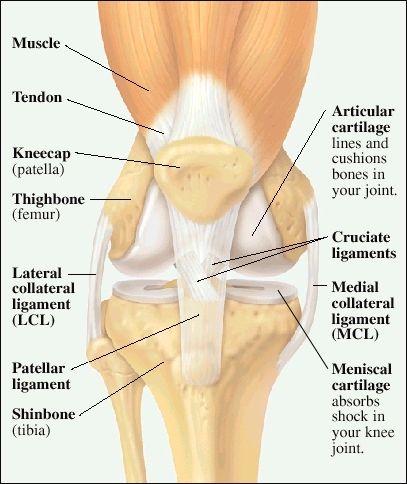 Anatomy of the knee pain