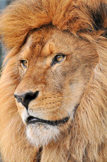 A handsome portrait of a male lion.
