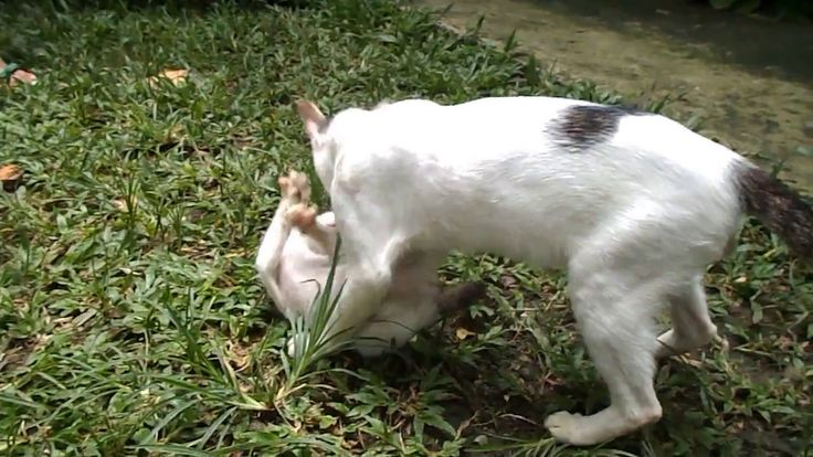 Cats fight for training care on the backyard, two cat fighting video