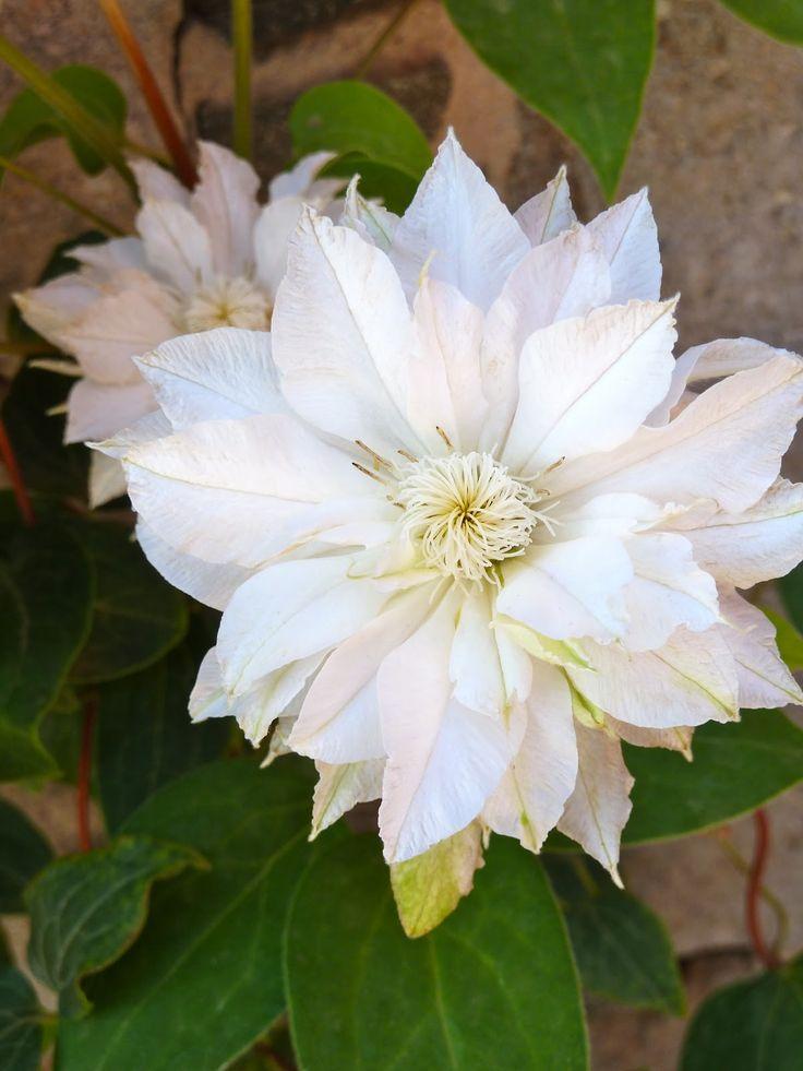 73 best images about flores blancas on pinterest. Black Bedroom Furniture Sets. Home Design Ideas