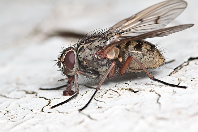 Flesh-fly: Photos, Spiders, Bugs, Butterflies, Insects, Entomology