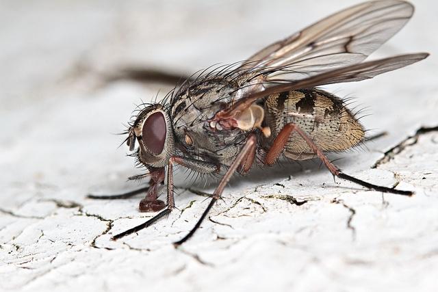Flesh-fly: Photo