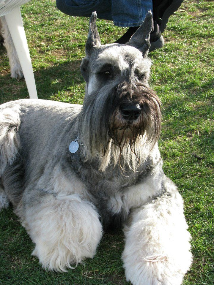 Giant salt and pepper Schnauzer!! We will name him Hercules :) More Link: https://www.sunfrog.com/search/?64708&search=schnauzer&cID=62&schTrmFilter=sales