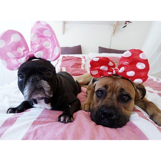 Happy National Dog Day!Super entusiasmadas com o Dia Internacional do Cão...só que não 😂 #nationaldogday #dogday! #sushithefrenchbulldog #shivapatuda #WeeklyFluff