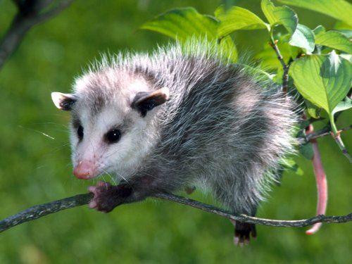 A climbing baby possum