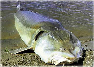 The Kaluga is a large predatory sturgeon found in the Amur River basin. Also known as the river beluga, they are claimed to be the largest freshwater fish in the world, with a maximum size of at least 2,205 lb and 18.6 ft. Like the slightly larger Beluga, it spends part of its life in salt water. Unlike the Beluga, this fish has numerous nail-like teeth in its jaws, and feeds on salmon and other fish in the Amur by hunting them. The Kaluga is one of the biggest of the sturgeon family.