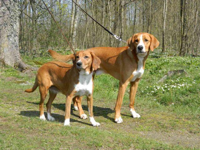 Gotlandsstövare. Dogging dog/Hunting dog. Hare and fox specialist (from vovve.net)