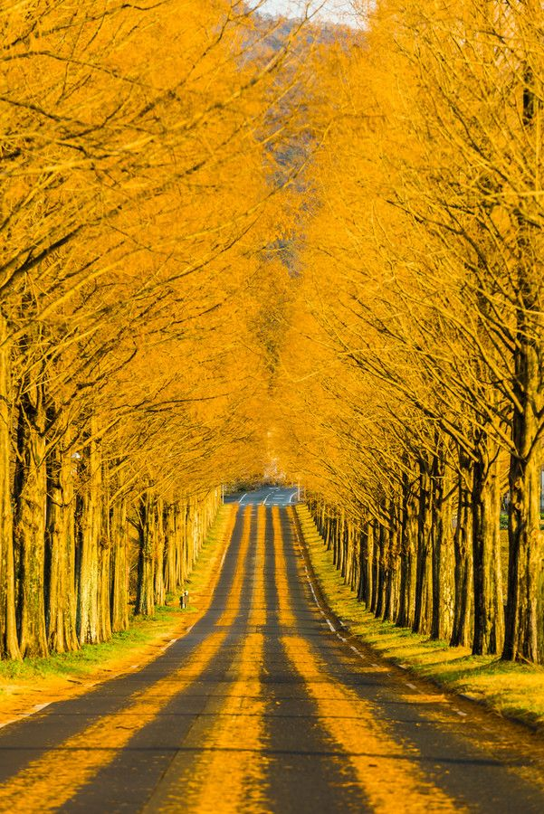 This road in Japan is yellow with fall leaves and striped with tire tracks, beautiful effect.