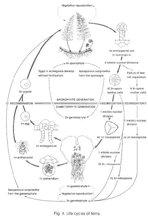Life cycle of  ferns - American Fern Society