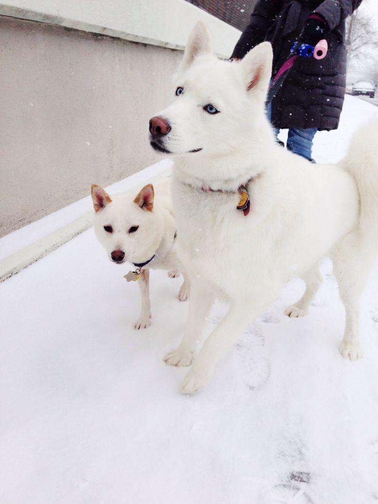 Siberian husky and shiba inu. Kira and Yuki