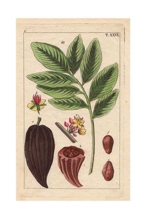 Cacao Tree with Fruit, Flowers, Nut, Theobroma Cacao Giclee Print at AllPosters.com