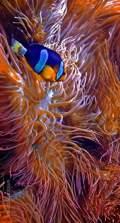 Super cool #clownfish with symbiotic anemone, love this!