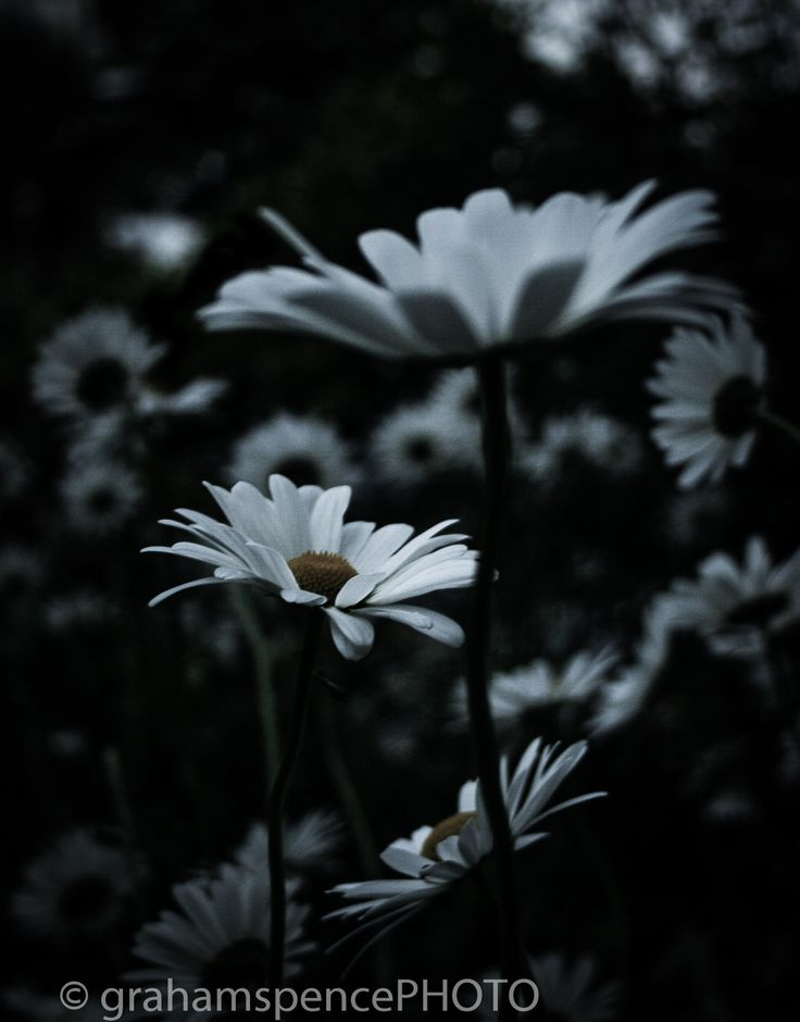 Flowers At Dusk - Daisies