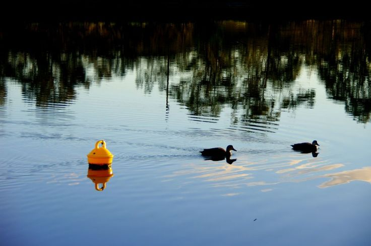 A duck to water
