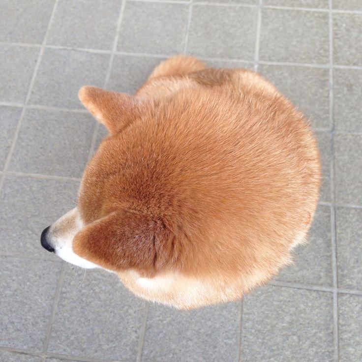 oage:まるまる柴犬まるまる