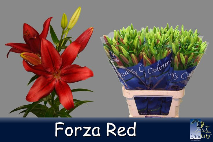 Forza red
