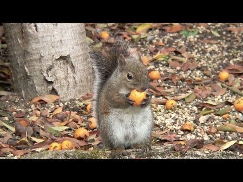 Squirrel got drunk after eating too many fermented crab apples - YouTube