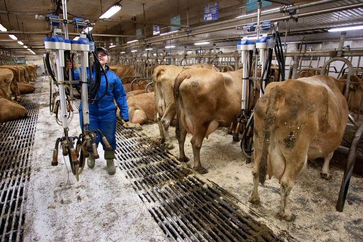 Kolmannes naudoista elää parsinavetoissa. Parsinavetassa lehmä on kiinni omalla makuu- ja ruokintapaikallaan, jossa se myös lypsetään.
