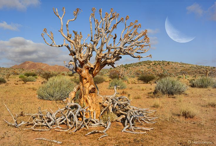 The morning moonrise over the beautiful Quiver Tree Desert Landscape between Pofadder and Onseepkans (close to the border post between the Northern Cape in South Africa and Namibia).  Martin
