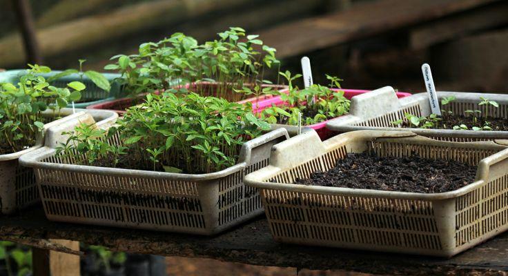 Seedling nursery - freshly germinated pioneer seedlings ready to be 'tubed-up'