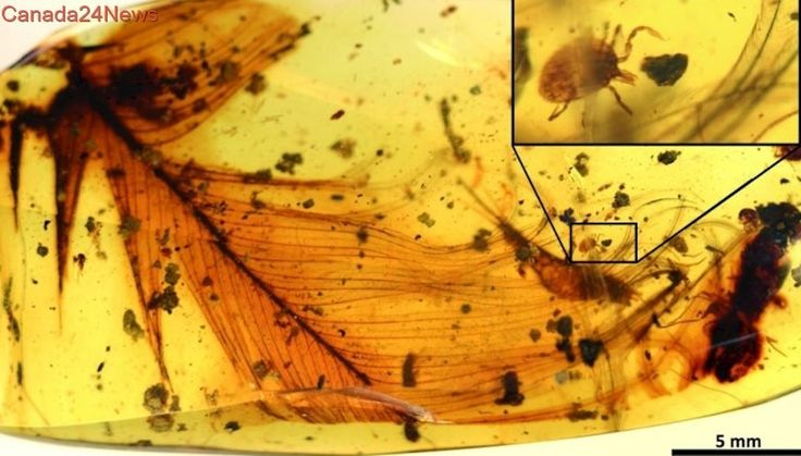 Researchers discover 'Dracula's terrible tick' trapped in amber with dinosaur feather