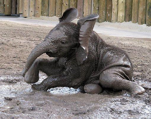 African Elephant baby