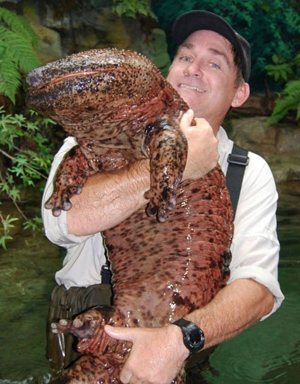 hinese Giant Salamander  This huge creature is the Chinese Giant Salamander which is the largest amphibian in the world, reaching 5.9 feet. While it's very rare to see them these days as they are considered critically endangered due to habitat loss and pollution, you can find them in rocky mountain streams and lakes in China.