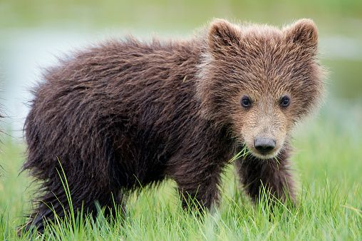 A close up look of a grizzly bear cub eating grass.