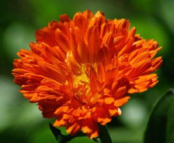 Plants for a medicinal herb garden