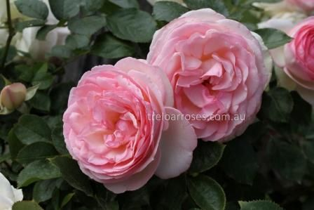 CLIMB. PIERRE DE RONSARD - climbing rose