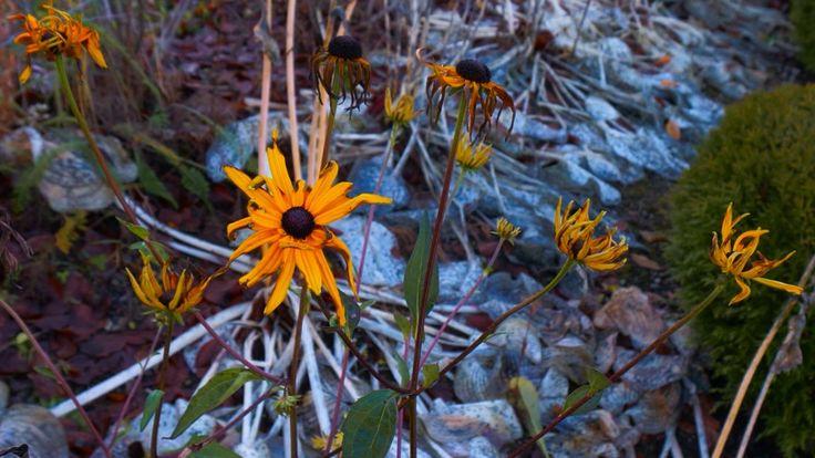 Echinacea - Solhatt