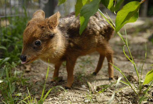 Baby Pudu Deer in Chile.  The world's smallest species of deer; currently in danger of extinction.