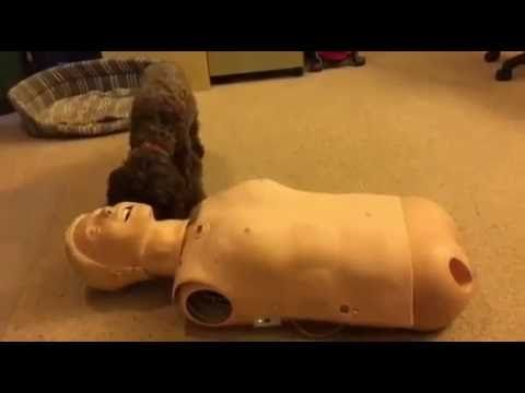 Dog is worried about resuscitation doll   The boss' dog isn't sure what to make of our resuscitation doll. Turn your sound on! Very funny!  http://www.nursecpdonline.com.au